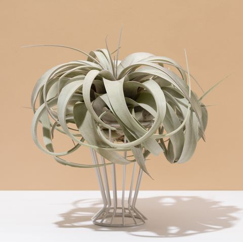 air plant on white and beige background