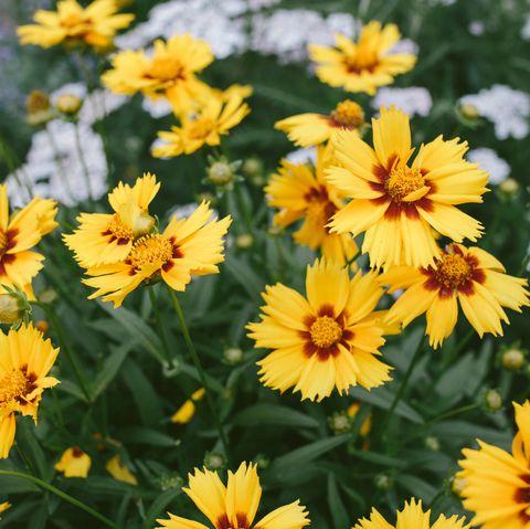 best perennials   yellow  red tickseed