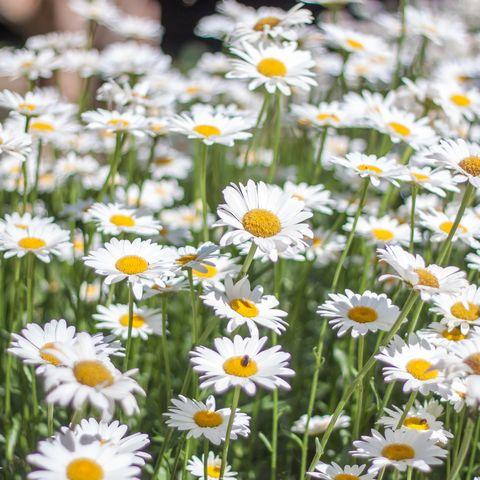 best perennials   shasta daisies