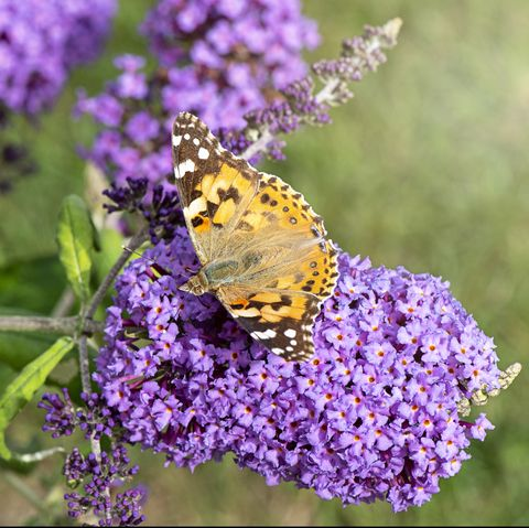 close up of a painted lady butterfly collecting pollen from a butterfly bush purple flower also known as buddleja, or buddleia bush