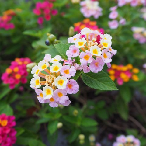 Pink Lantana flowers.