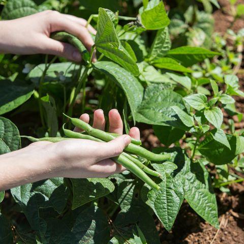 harvesting green bean in the vegetable garden