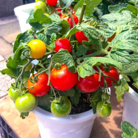 tomato plants bearing fruits yokohama june 21, 2019