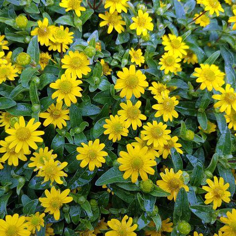 Sanvitalia procumbens, Sunvy Top Gold
