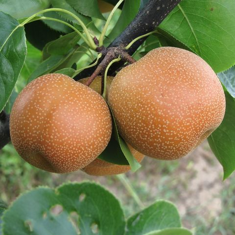close up of asian pears on tree