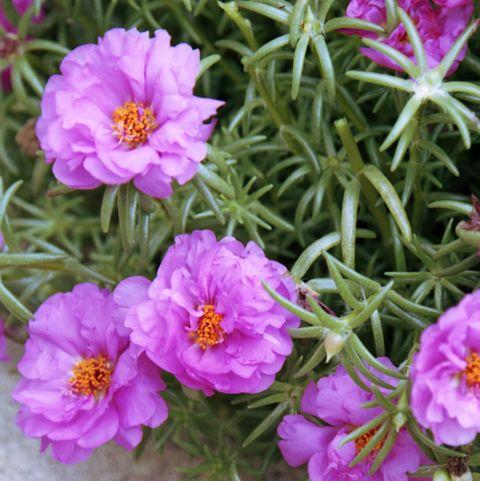 pink beauties (portulaca) growing between rocks
