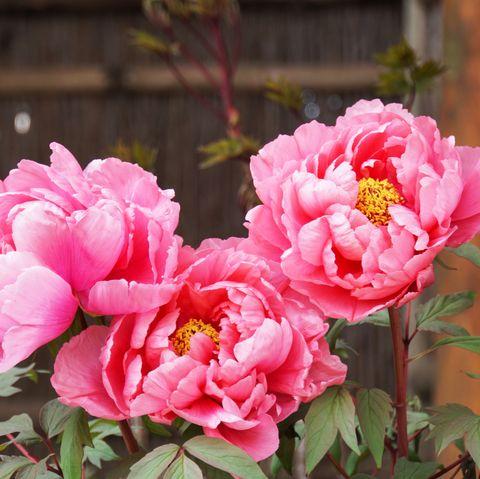 peony flower blooming in japanese garden