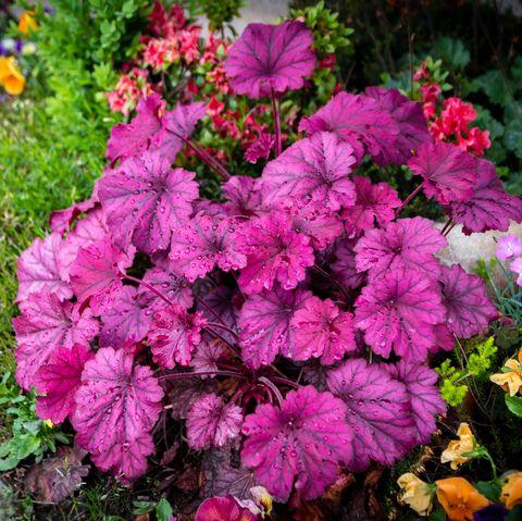 coral bells in garden