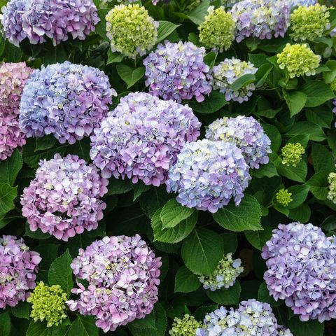 best perennials   hydrangea flower