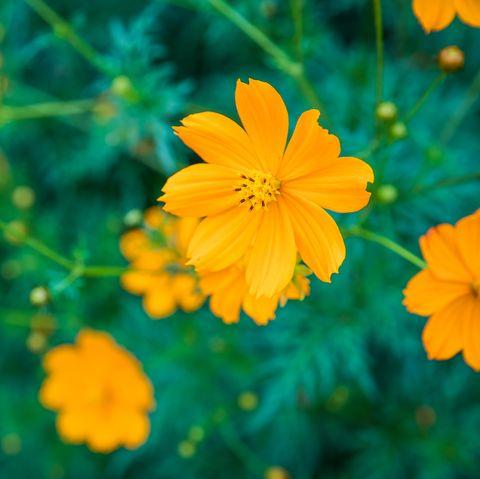 Sulfur Cosmos Flowers