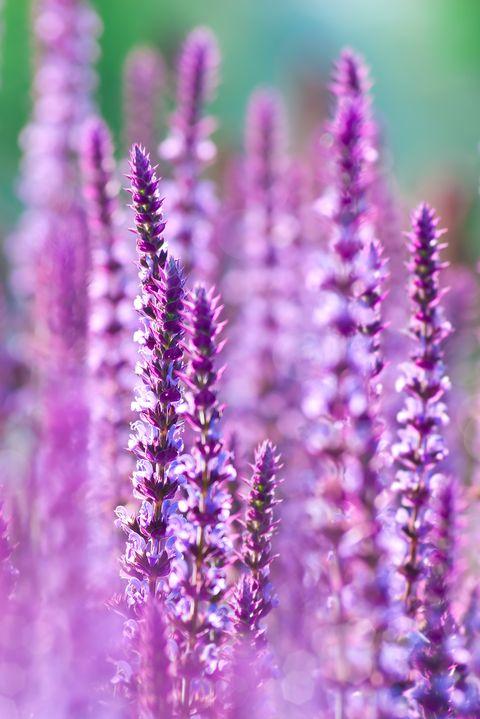 Perennial Sage flowers