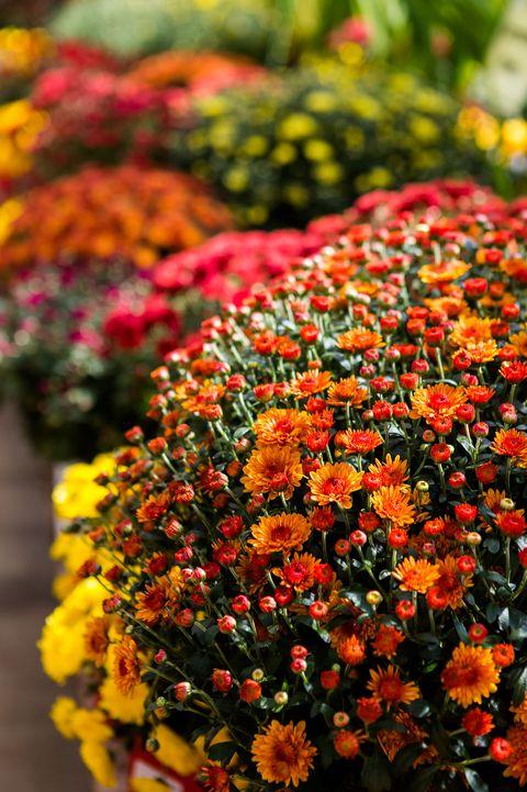 Chrysanthemumflowers