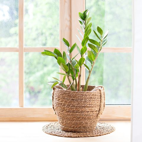 concept of home gardening zamioculcas in flowerpot on windowsill home plants on the windowsill  green home plants in a pot on windowsill at home hygge boho rustic scandinavian space for text