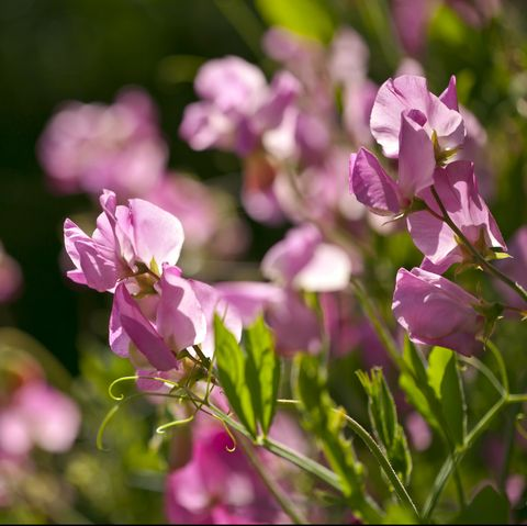 close up of sweet pea plants lathyrus odoratus in flower in a garden