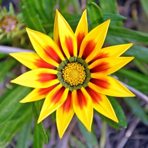 Vibrant red and yellow Gazania flower