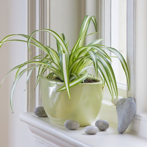 designer clare matthews   houseplant project   green container on windowsill planted with spider plant   chlorophytum comosum