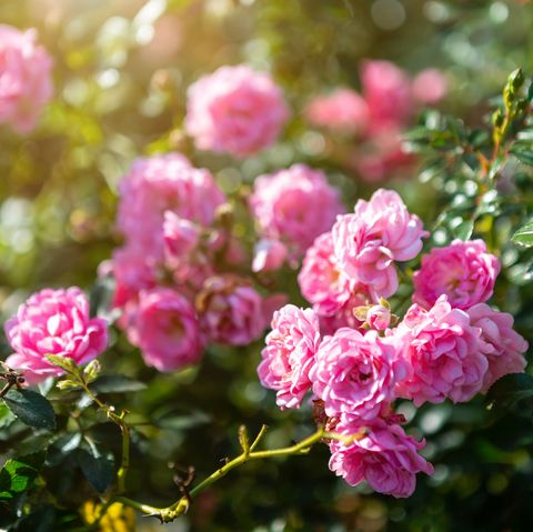 beautiful pink rose on the rose garden in summer in a garden