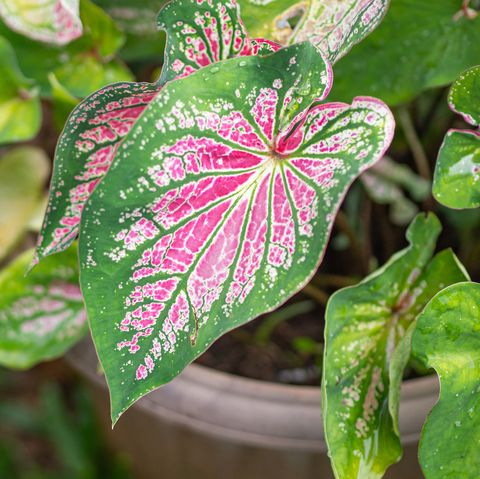 beautiful caladium bicolor aiton vent or queen of the leafy plants colorful of bon leaves