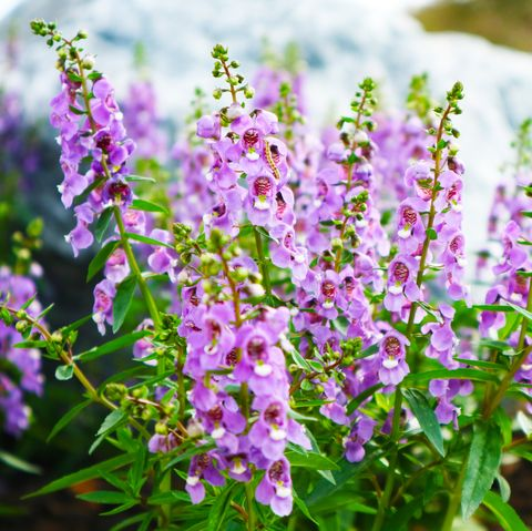little turtle flower, forget me not, angelonia is biennial plants that can be released throughout the year