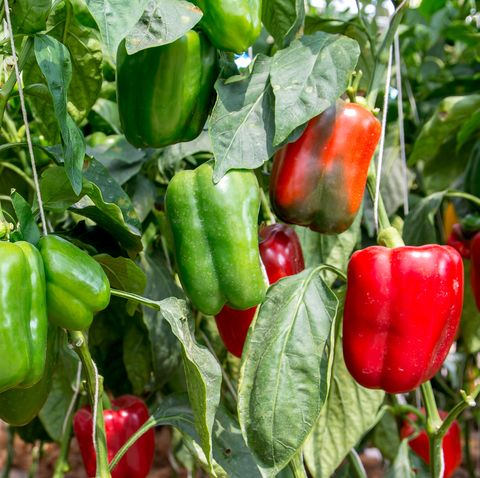 green and red sweet pepper tree in garden, bell peppers on tree