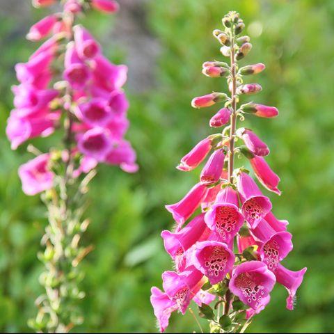 close up of foxglove flowers