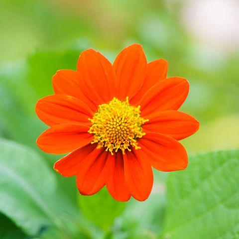 Mexican Sunflower Weed (Tithonia rotundifolia Gray)