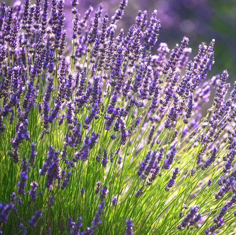 best perennials   lavender flowers